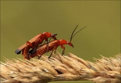 Roter Weichkäfer (Rhagonycha fulva) - Paarung