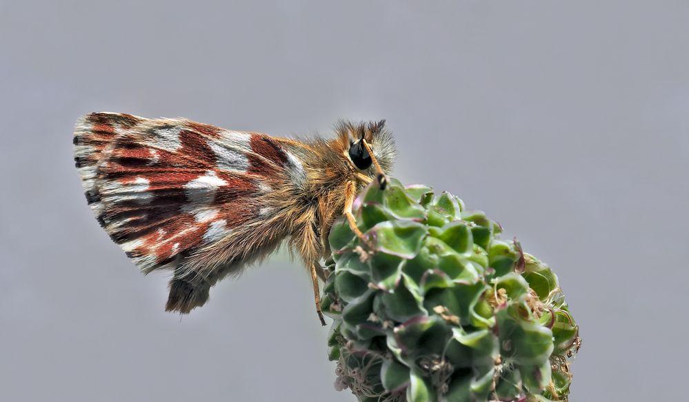 Roter Würfel-Dickkopffalter (Spialia sertorius) - L'Hespérie des Sanguisorbes, la Roussâtre.
