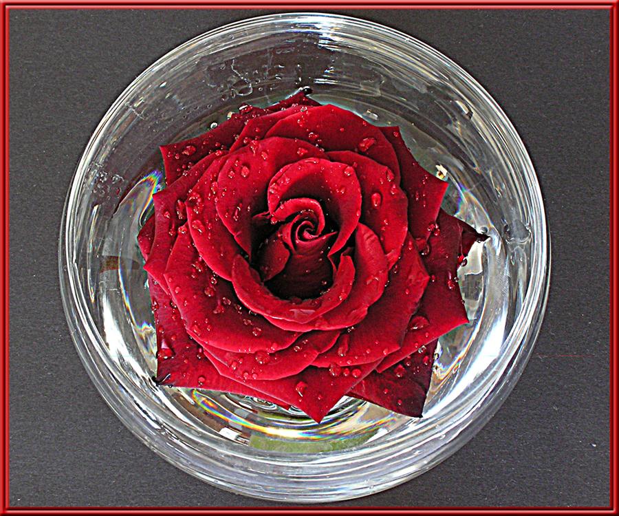 Rote_Rose-im-Glas