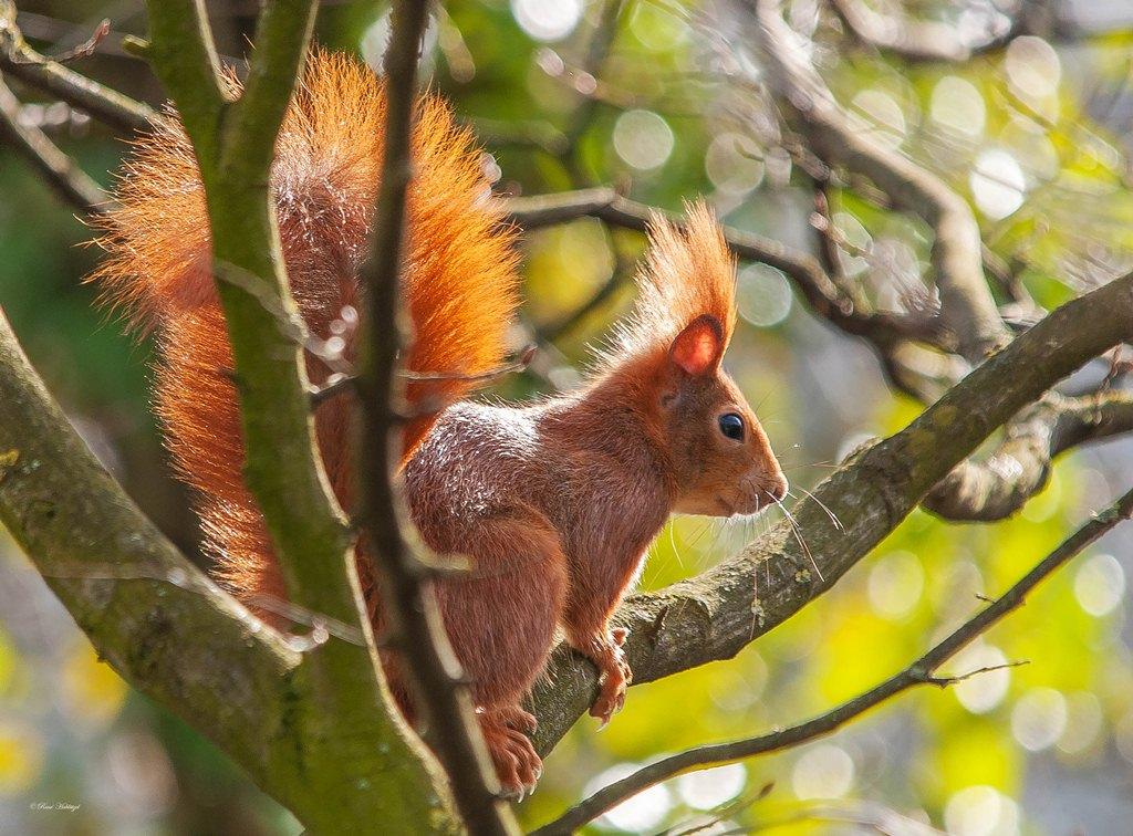 rotes eichhörnchen im baum foto  bild  tiere wildlife