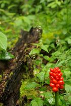 Rotes im Wald ?