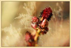 Rotes Mittwochsblümchen