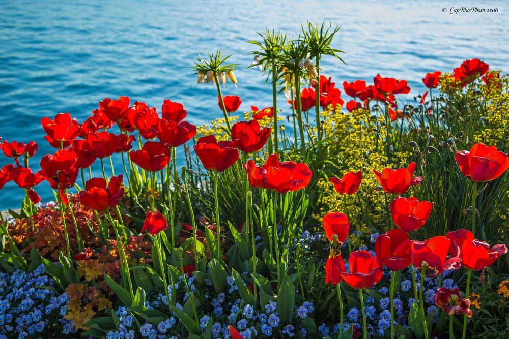 Rotes Tulpenbeet am Bodensee in Überlingen