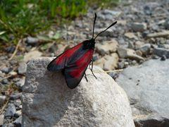 Rotes Widderchen - Blutströpfchen (Zygaenidae)