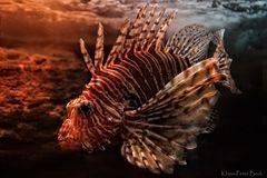Rotfeuerfisch (2)
