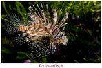 ~ Rotfeuerfisch ~