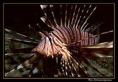 Rotfeuerfisch - Ägypten Safaga