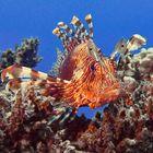 Rotfeuerfisch auf dem Riff