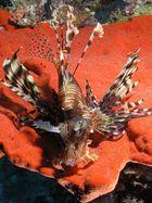 Rotfeuerfisch auf der Jagd