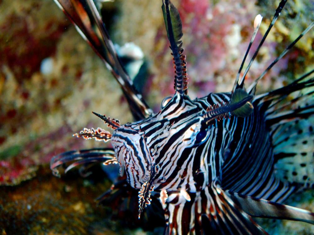 Rotfeuerfisch auf Konfrontationskurs