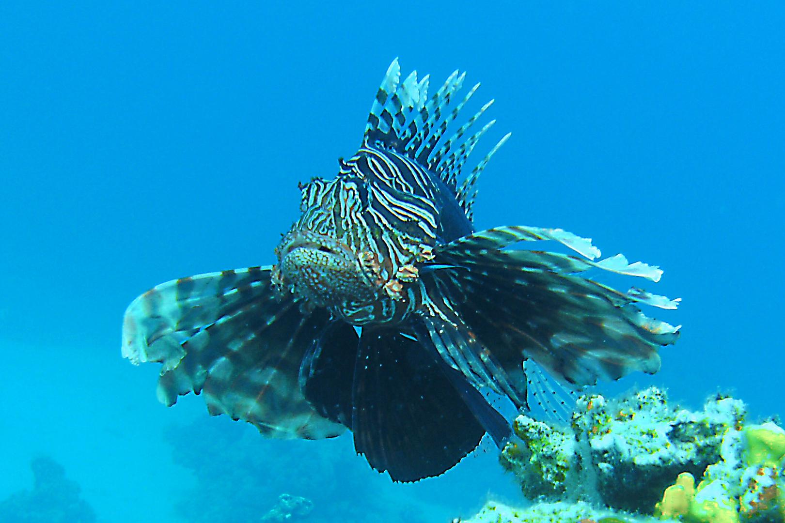 Rotfeuerfisch im Anflug