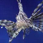 Rotfeuerfisch im Two Oceans Aquarium, Cape Town