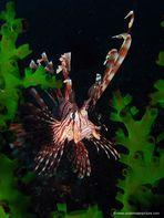 Rotfeuerfisch - Lionfish - Pterois volitans