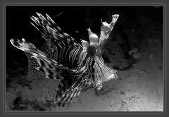 Rotfeuerfisch S/W