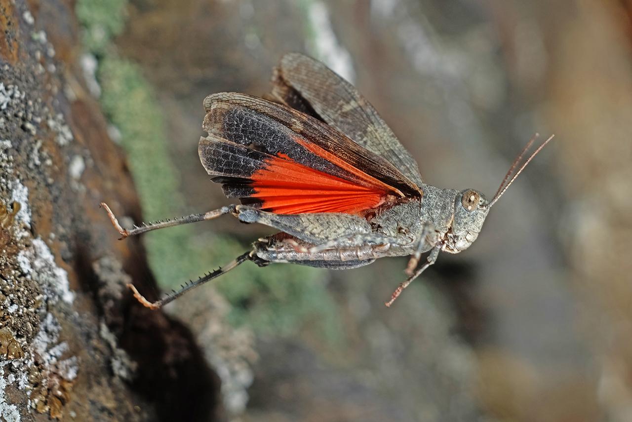 Rotflügelige Ödlandschrecke