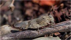 rotflügelige ödlandschrecke (oedipoda germanica)....
