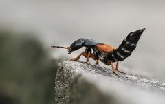 Rotflügeliger Moderkäfer (Staphylinus dimidiaticornis)