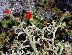 Rotfrüchtige Säulenflechte (Cladonia macilenta).