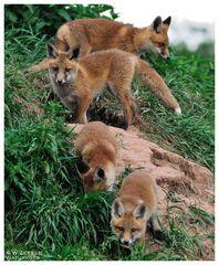 - Rotfuchs Familie - ( Vulpes vulpes )