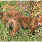 - Rotfuchs im Doppelpack - ( Vulpes vulpes )