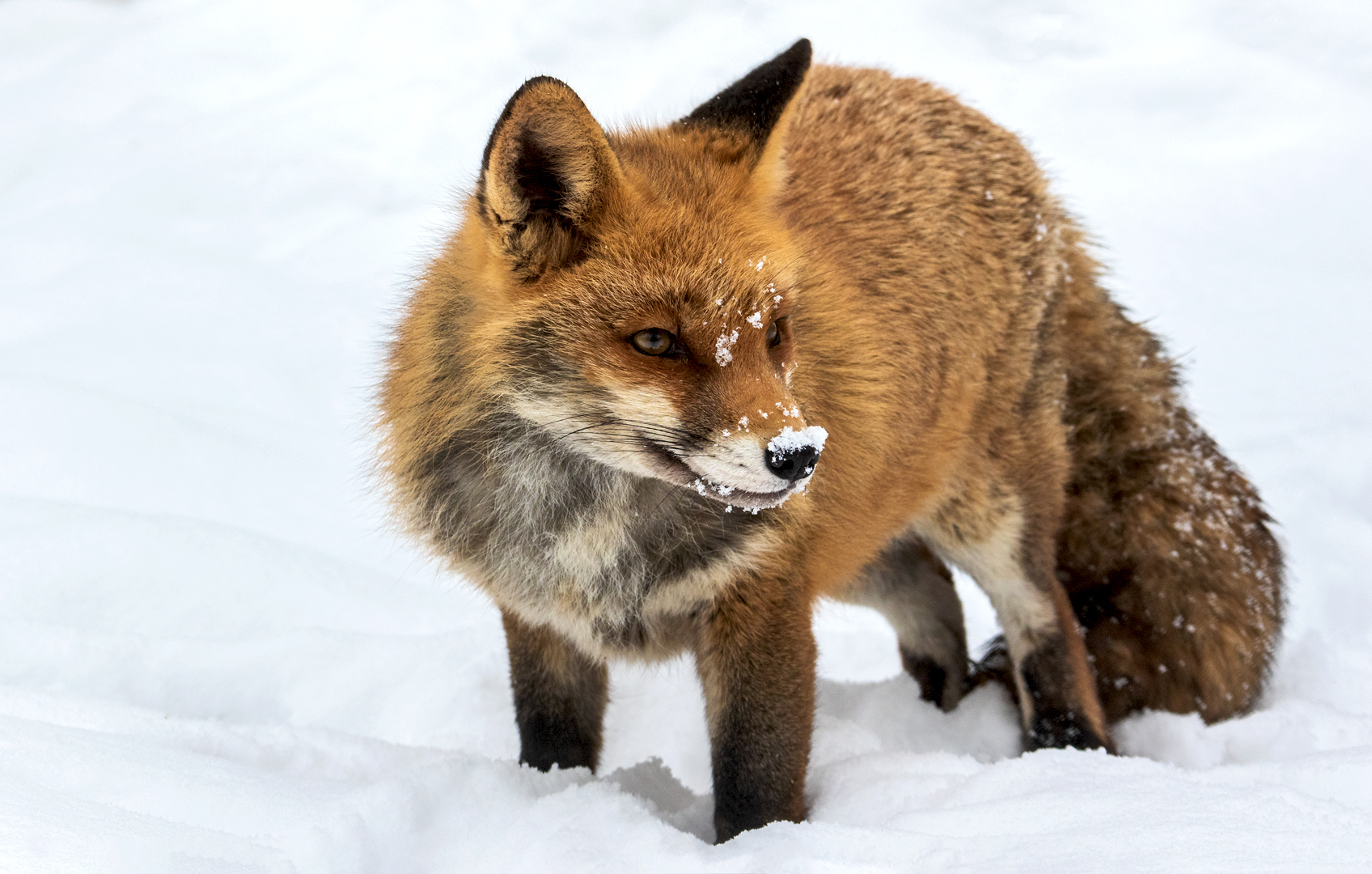 Rotfuchs im Schnee 004