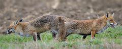 Rotfuchs-Paarung I