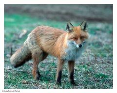 + Rotfuchs + ( Vulpes vulpes ) - DIA SCAN -