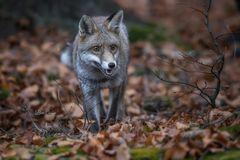 Rotfuchs (Vulpes vulpes) im Wald