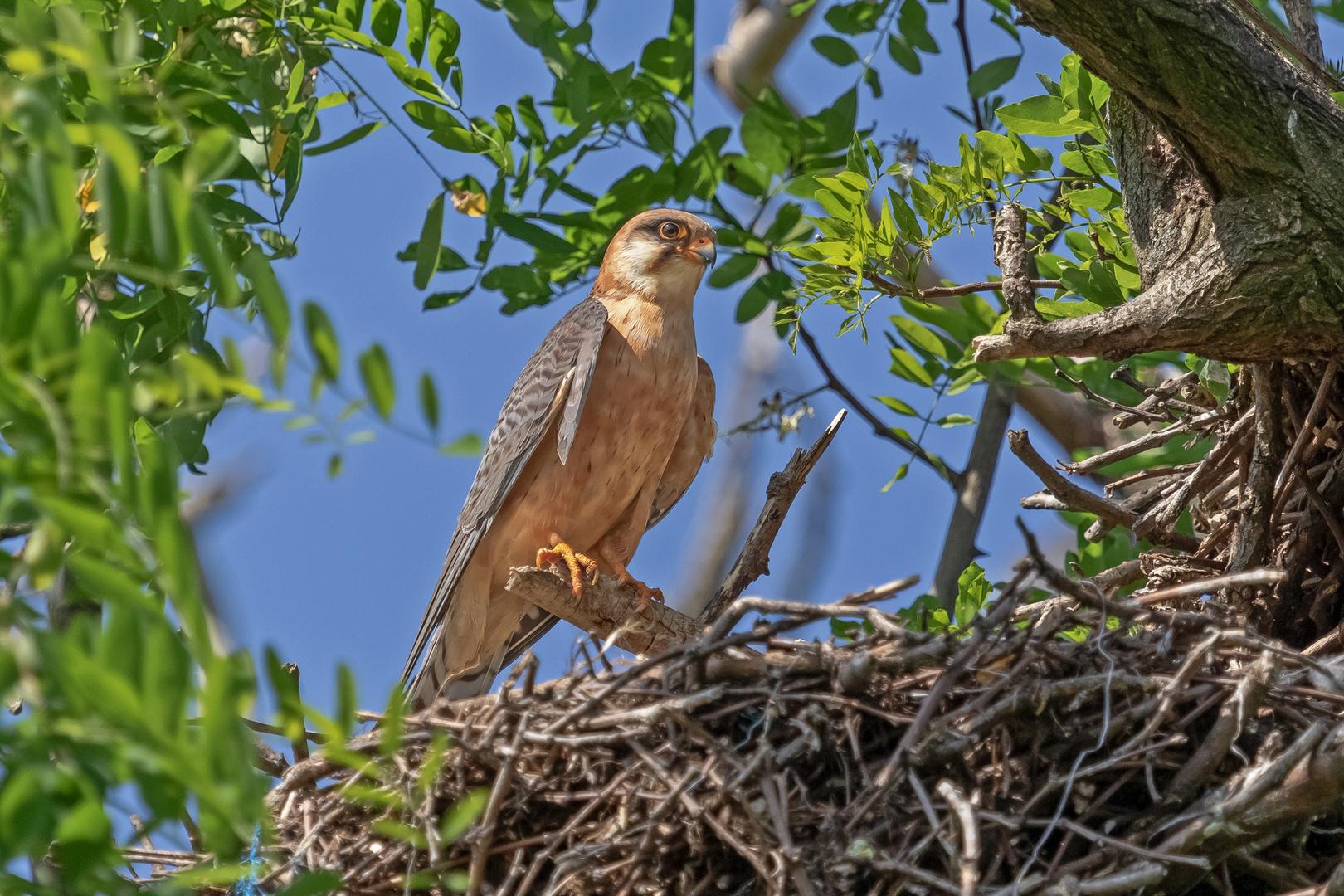 Rotfußfalke am Nest