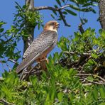 Rotfußfalkenweibchen wartet am Nest
