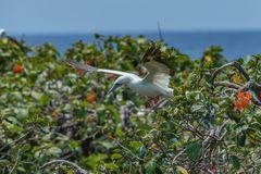 Rotfußtölpel im Anflug zum Nest