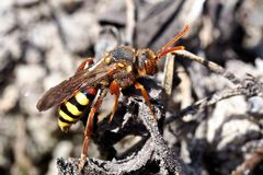 Rothaarige Wespenbiene (Nomada lathburiana)