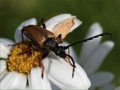 Rothalsbock-Käfer, Männchen (Stictoleptura rubra)