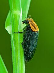 Rothalsige Silphe (Aaskäfer)