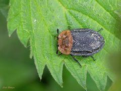 Rothalsige Silphe (Oiceoptoma thoracica)