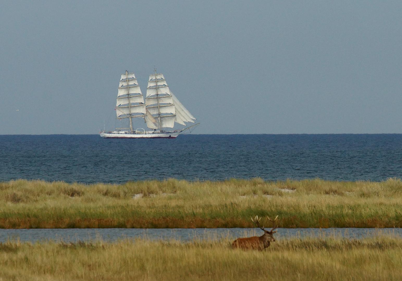 Rothirsch an der Ostsee