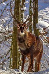 Rothirsch im Winter