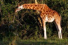 Rothschild-Giraffe beim Frühstück