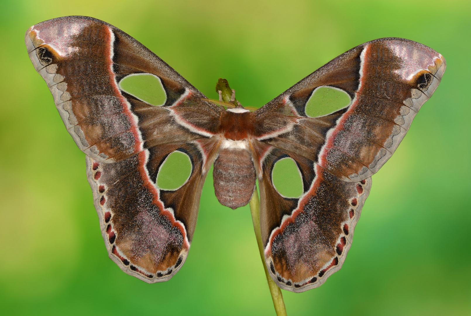 Rothschildia lebeau inca Weibchen