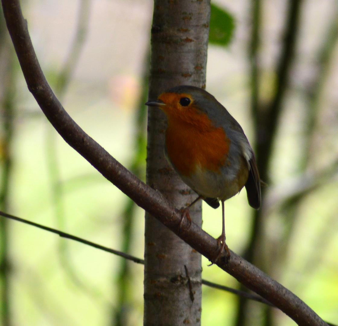 Rotkehlchen ~ 1 / Robin redbreast ~ 1
