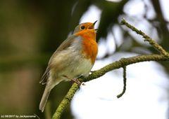 Rotkehlchen 15 (beim Singen)