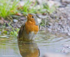 -- Rotkehlchen 2 beim baden --
