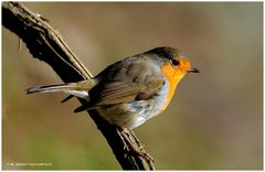 --- Rotkehlchen --- ( Erithacus rubcula )