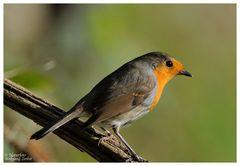--- Rotkehlchen --- ( Erithacus rubecula )