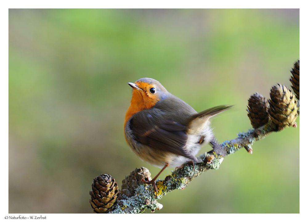 ---- Rotkehlchen ---- ( Erithacus rubecula )