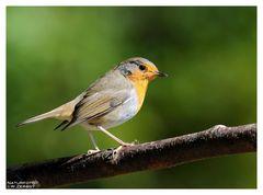 -- Rotkehlchen -- ( Erithacus rubecula )