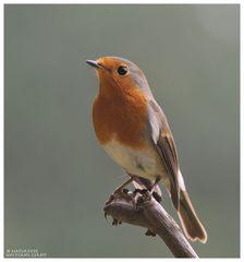 ---- Rotkehlchen ---- (Erithacus rubecula )
