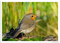- Rotkehlchen - ( Erithacus rubecula )