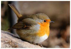 --- Rotkehlchen ---- ( Erithacus rubecula )
