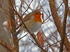 Rotkehlchen (Erithacus rubecula) im Winter... - Le rouge gorge au début de l'hiver...